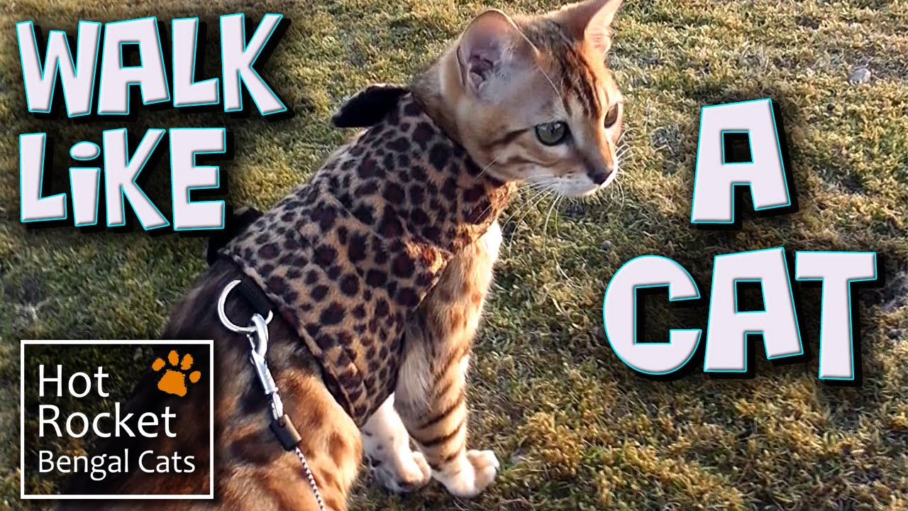 Getting used to a cat harness - Bengal cats go walking outside ...