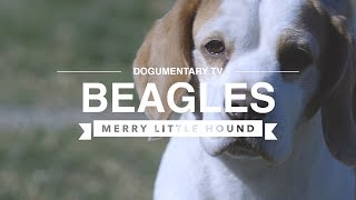 BEAGLES THE MERRY LITTLE HOUND