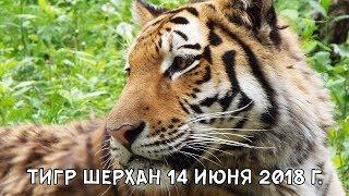 ТИГР ШЕРХАН 14 ИЮНЯ 2018 Г.