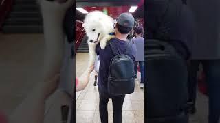 구남매아빠 - 대형견 사모예드 지하철 지나가는 방법