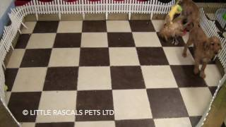 Little Rascals Uk Breeders New Litter Of Cockapoos - Puppies For Sale UK
