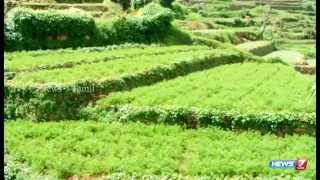 Kodaikanal cultivation of Carrot