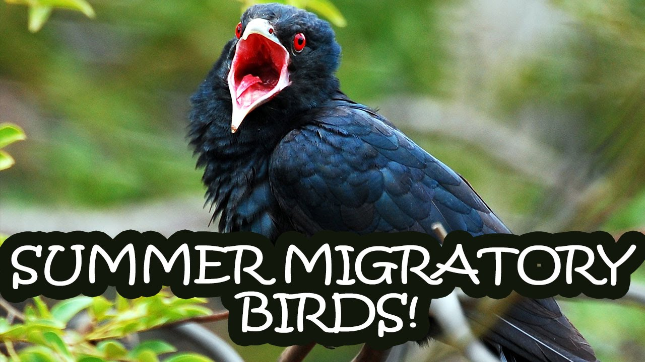 10 Beautiful Birds That Migrate To India In Summer Tens