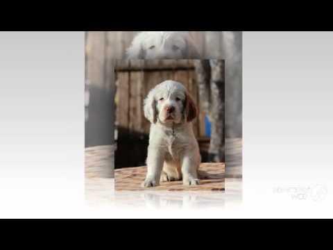 Кламбер спаниель порода собак
