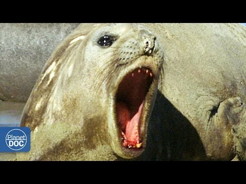 Elephant Seal: Patagonia