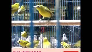 Bahan burung pleci dakun pacitan masih banyak stanby di pasar burung pramuka Jakarta Timur