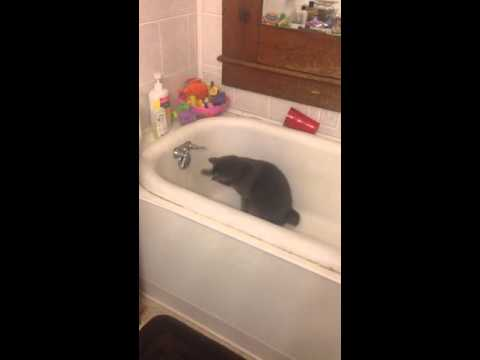 Manx cat and water