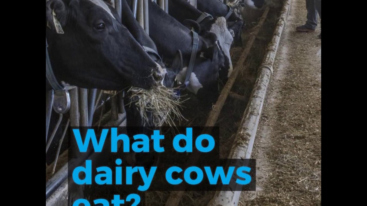 What do dairy cows eat? | Alberta Milk