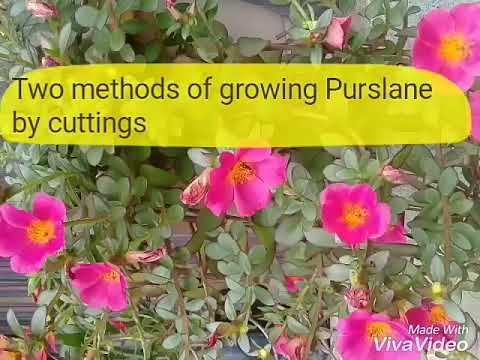 The 20-Second Trick For Where To Grow Purslane