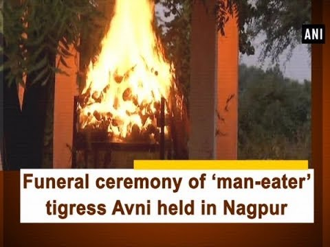 Funeral ceremony of 'man-eater' tigress Avni held in Nagpur