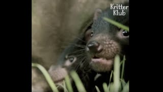 Tasmanian Devils Are Cute When They're Angry | Kritter Klub