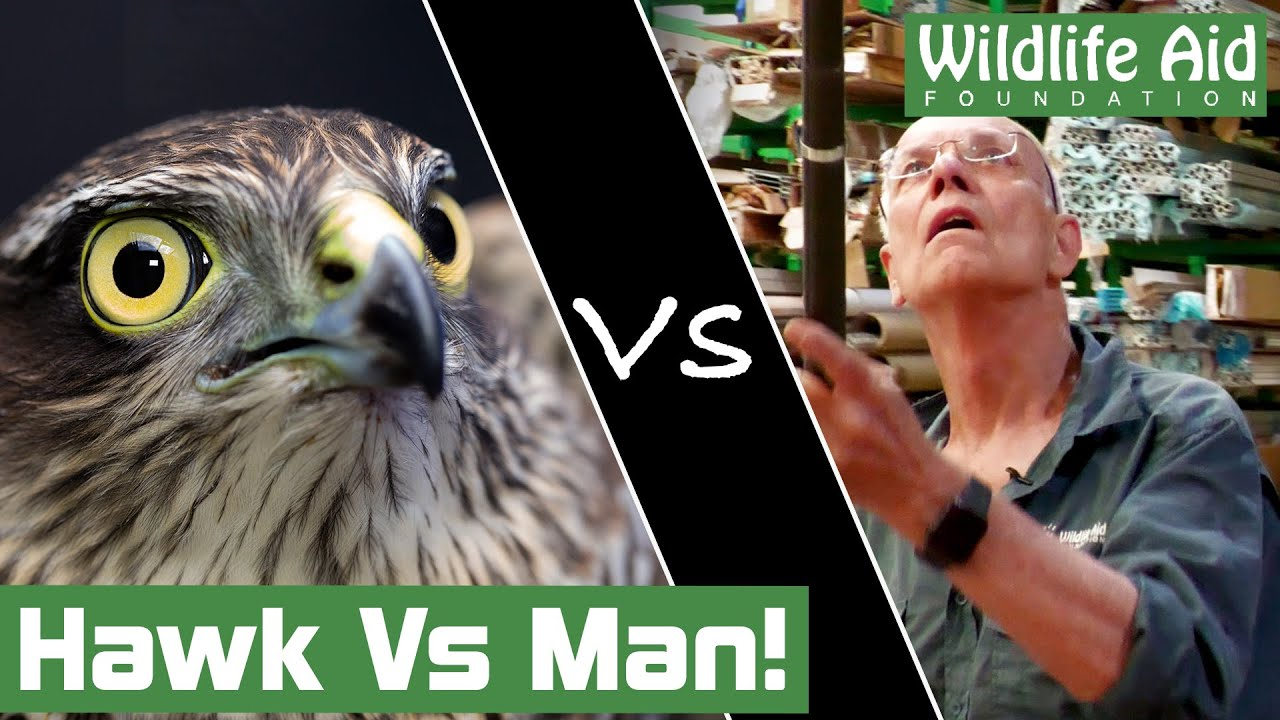 MID-AIR catch to save trapped hawk!