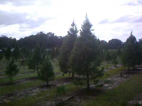 Ergle Christmas Tree Farm.Grace S 1st Time Cutting Down Christmas Tree At Ergle Christmas Tree Farm In Dade City Fl