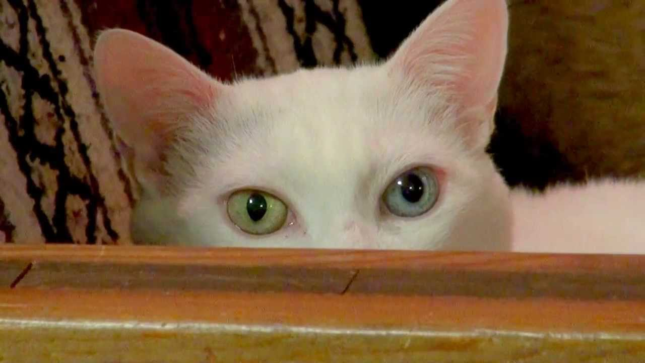 white cat with one blue eye and one green eye youtube