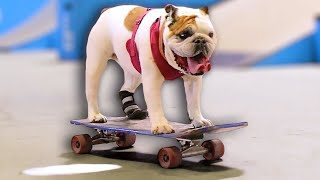 WORLD'S CUTEST SKATEBOARDING DOG!