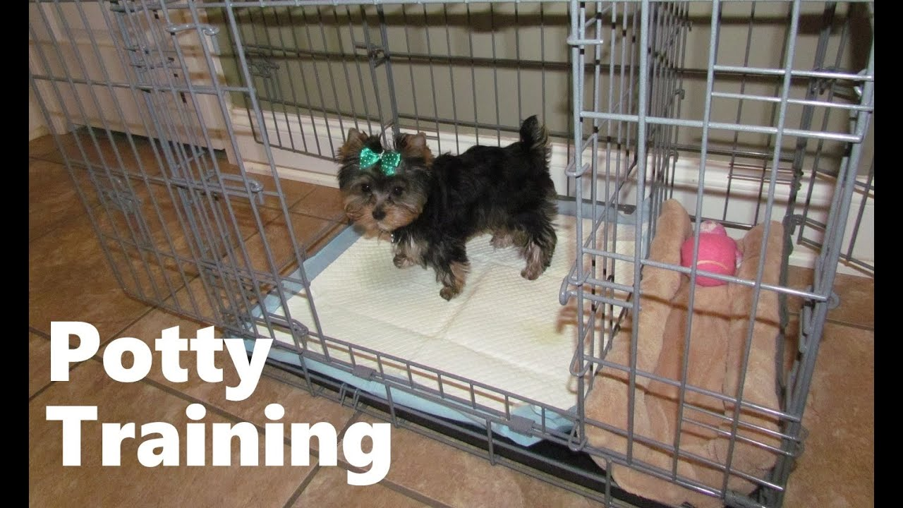 How To Potty Train A Yorkie Puppy Yorkie House Training