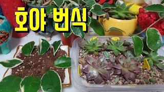호야 🦋야호🍀다육식물 호야 번식시키기🗽호야 잎꽂이 (☆개체수 늘리기☆)🍀다육이 Succulent plants