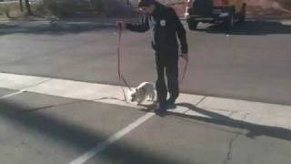 Training A Dog To Walk With A Muzzle On.
