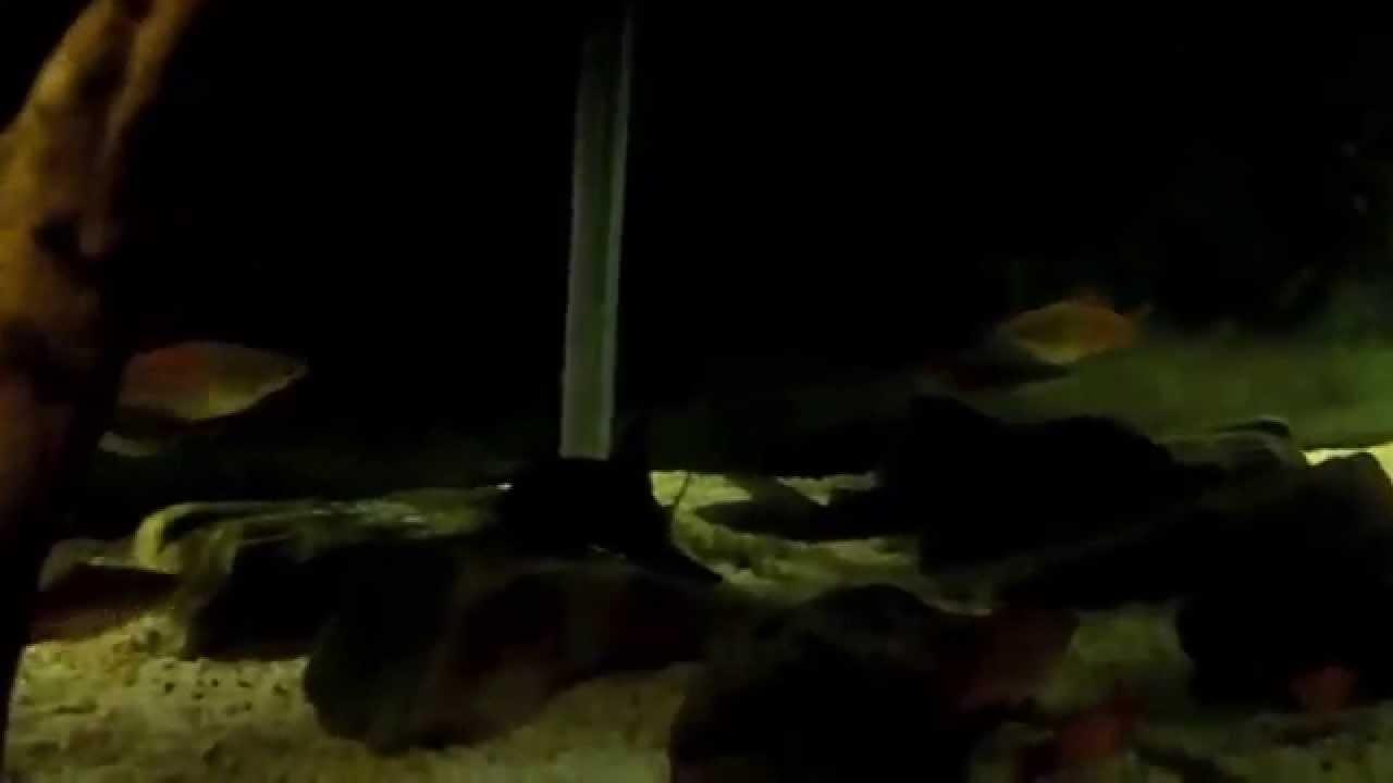 allestimento acquario betta splendens ~ juwel rio 125 di massi782 ... - Allestimento Acquario Per Betta Splendens