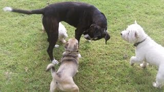 Bichon, Boxer, Jug Dog & West Highland Having The Craic At A & B Dogs Boarding & Training Kennels.