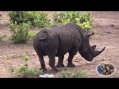 Rhino Mating Games.