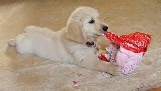 Смешные собаки - Открытие новогодних подарков. Сборник [HD]