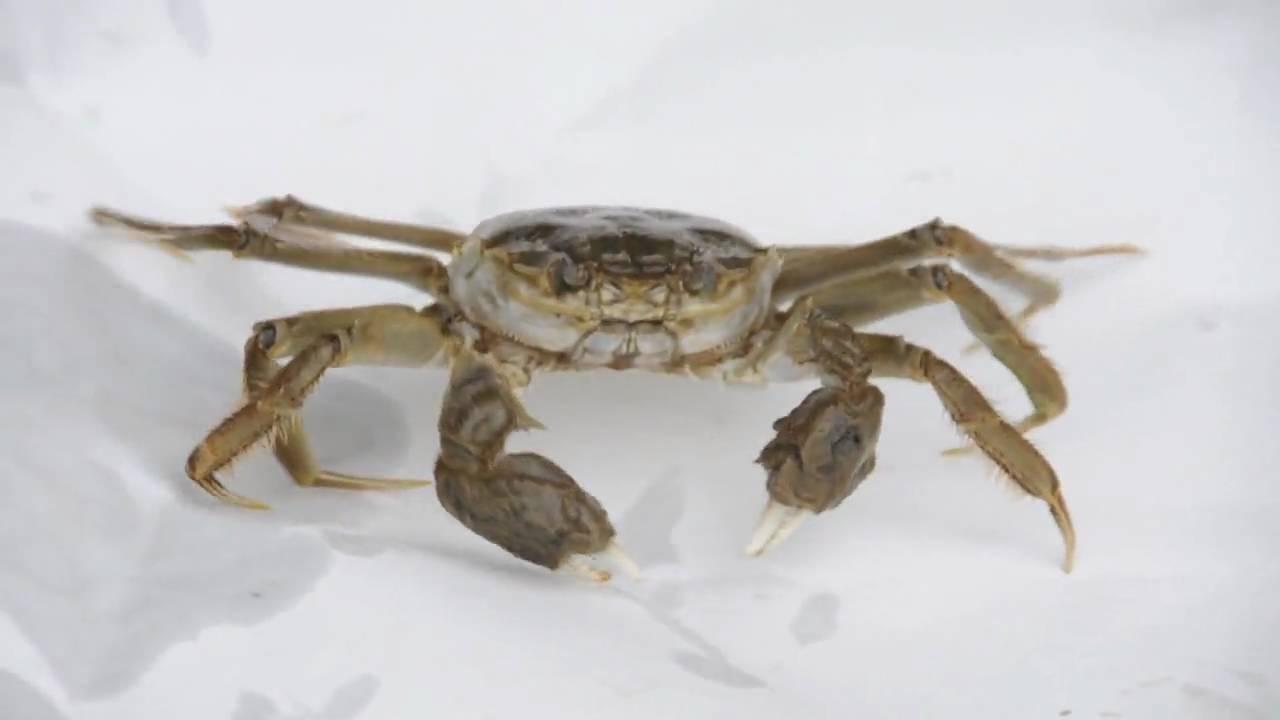 Chinese Mitten Crab | National Invasive Species Information Center