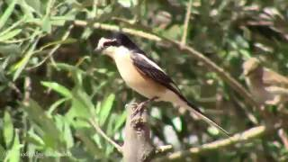 Video BIRDS OF JORDAN - MASKED SHRIKE                    طيور الأردن - الصرد المقنع download MP3, 3GP, MP4, WEBM, AVI, FLV Juli 2018