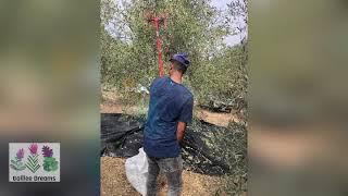 The olive harvest 2020