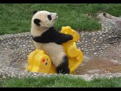 So Cute! Baby Panda Playing (1) - YouTube