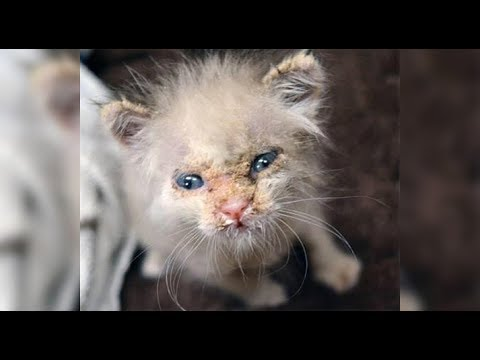 This Poor Kitten Was Infected With Mange – But Rescuers Found The Adorable Face Hidden Beneath