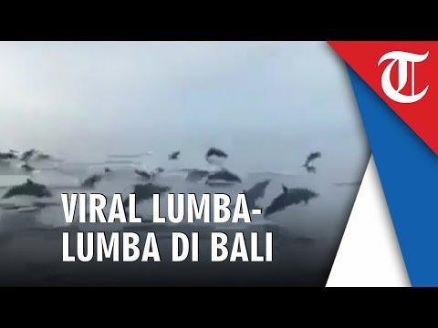 viral-lumba-lumba-muncul-di-perairan-bali,-bksda:-memang-jalur-imigrasi-yang-disukai