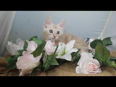 大型猫!メインクーン/ブリーダー直販/仙台市で子猫をお探しなら