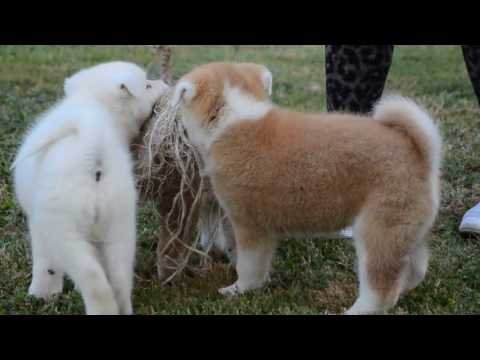Japanese Akita Puppies - Tatsuya Kensha N Litter