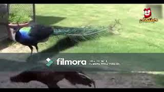 Animal funny clips video