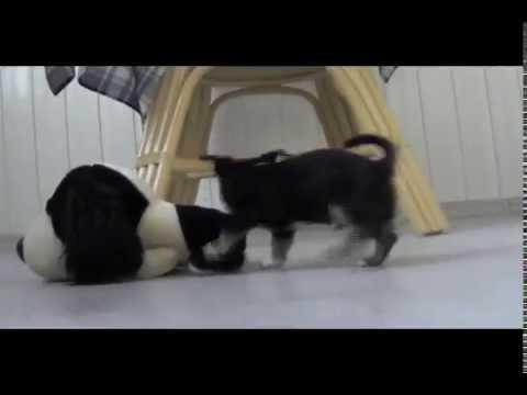 Este es el Tamaño REAL de un chihuahua de bolsillo de 1 mes de edad.из YouTube · Длительность: 57 с  · Просмотры: более 1000 · отправлено: 14.06.2017 · кем отправлено: Chihuahuas de Bolsillo