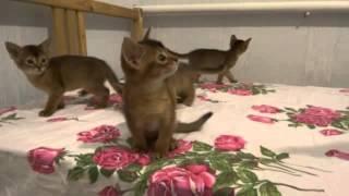 Абиссинские котики: кушать, играть, спать!!!