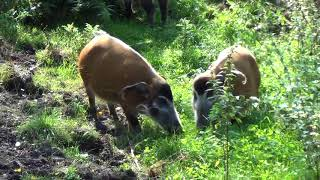 African Red River Hogs (bush pigs)