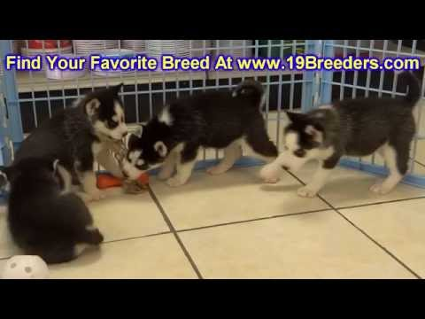Siberian Husky, Puppies, For, Sale, In, Badger, County, Alaska, Ak, Kink Fairview, College