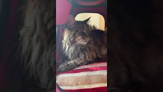 My Cat Is Sick: Life With A Maine Coon