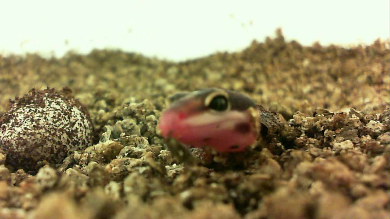 Leopard Gecko Hatching 6 8 15 HD - YouTubeLeopard Gecko Hatching