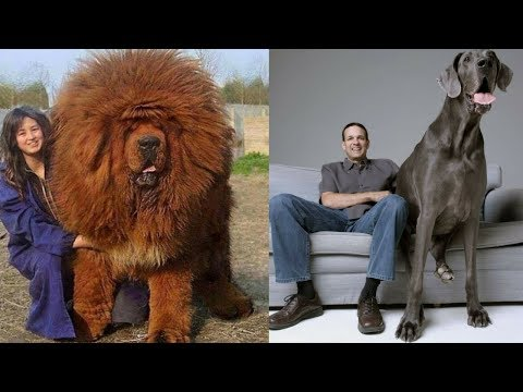 The Top 10 Largest Breeds Of Dog 2018