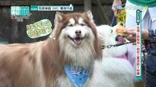 本週任務:帶哈士奇去衝浪來賓:邵庭/寵物馬、杜力+夢多/ 拉布拉多犬...