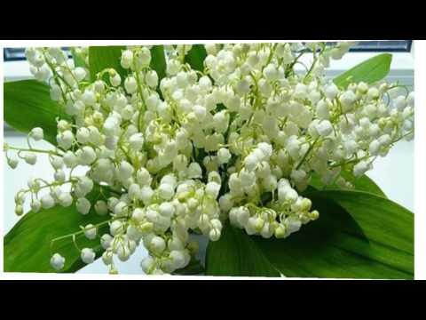 Ландыши.Весенние цветы ландыши