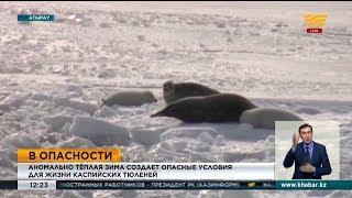 Аномально теплая зима создает опасные условия для выживания каспийских тюленей
