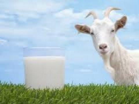 The Benefits of Goat Milk