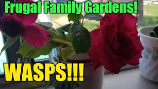 Frugal Family Gardens! Wasps and Roses!