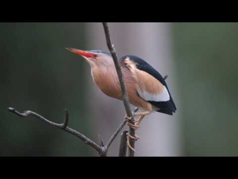 Vroege Vogels - Baltsende woudaap