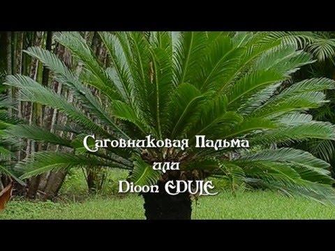 Комнатная пальма - YouTube