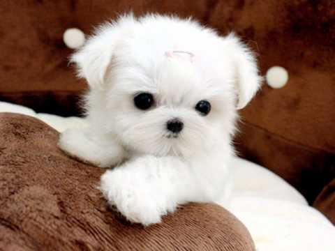 Tiny Teacup Maltese For Sale Ms Puppy Connection - YouTube